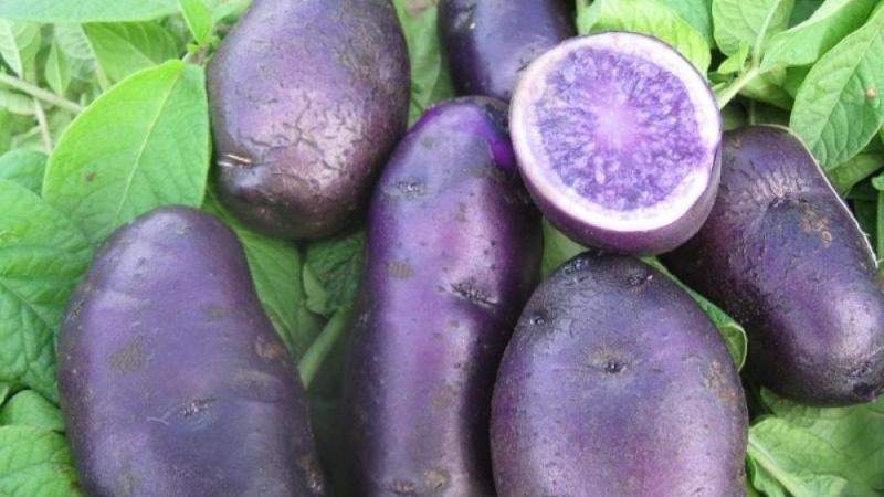 Ves-siniy-kartofel