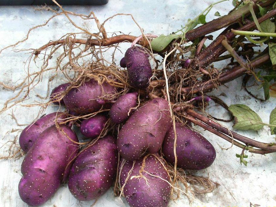 Fioletoviy-kartofel