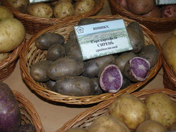 Siren-sireneviy-kartofel