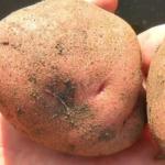 Описание и характеристики сорта картофеля Любава