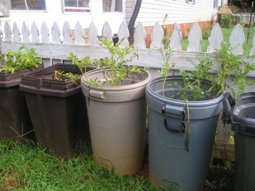 Как посадить картофель в бочку